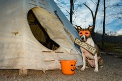 A cute dog Trick or Treating on Halloween. An American Staffordshire Bull Terrier Trick or Treating at a Teepee on Halloween stock images