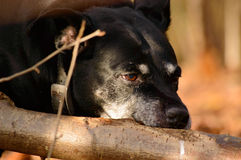 American Staffordshire chewing on a branch. Black American Staffordshire terrier chewing on a branch of a fallen tree in woodland, close up view of the face Stock Photo