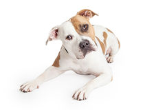 American Staffordshire Dog Laying Tilting Head stock images