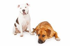 American Staffordshire and Large Mixed Breed Dogs Sitting and La royalty free stock photo