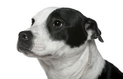 American Staffordshire mixed with a Border Collie. Close-up of American Staffordshire Terrier mixed with a Border Collie, 9 months old, in front of white royalty free stock photo