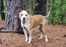 American Staffordshire Pitbull Terrier dog. White and tan American Staffordshire Pitbull Terrier outdoor pet adoption photography, Walton County Animal shelter royalty free stock image