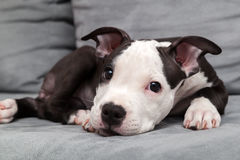 American staffordshire puppy Stock Images