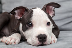 American staffordshire puppy Stock Photo