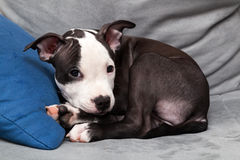 American staffordshire puppy Royalty Free Stock Photography