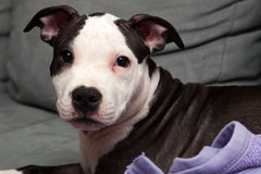 American staffordshire puppy Royalty Free Stock Images