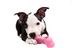 American staffordshire puppy Stock Image