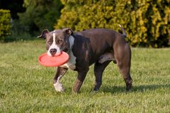 American staffordshire terrie with  freesbee Stock Photography