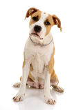 American Staffordshire terrier Stock Photos