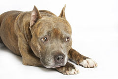 American Staffordshire terrier Royalty Free Stock Images