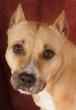 American Staffordshire terrier. Brown hazel sitting in front of  red background Stock Photos
