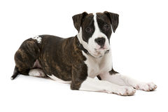 American Staffordshire Terrier. On a white background stock photos