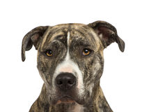American Staffordshire terrier (18 months) Royalty Free Stock Photography