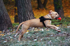 American Staffordshire Terrier. Golden staffordshire terrier in autumn park playing Royalty Free Stock Photos