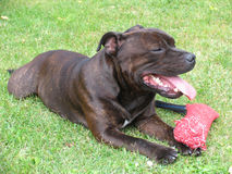 American Staffordshire Terrier 2/2. American Staffordshire Terrier lying in the grass with his toy Royalty Free Stock Images