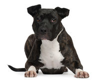 American Staffordshire Terrier, 2 years old Stock Image