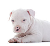 American Staffordshire Terrier Royalty Free Stock Photo
