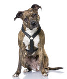 American Staffordshire terrier (4 years old) sitti Stock Photo