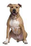 American Staffordshire terrier, 6 years old Stock Image