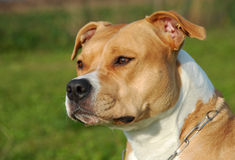 American staffordshire terrier. Portrait of a beautiful female purebred American Staffordshire Terrier royalty free stock photography