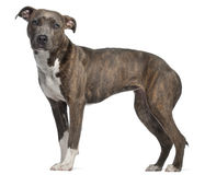 American Staffordshire Terrier, 8 months old Royalty Free Stock Image