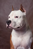 American Staffordshire Terrier_9 Stock Photo