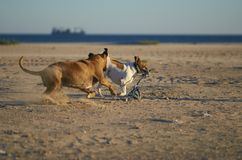 American Staffordshire terrier abd Mongrell dog, Podenco, Jack R. Ussel terrier running on a beach royalty free stock images