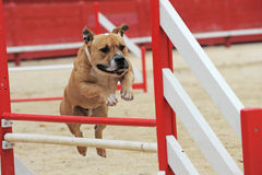 American staffordshire terrier in agility Royalty Free Stock Images