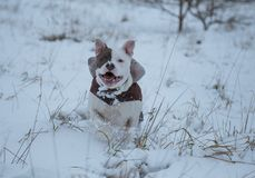 American Stafforshire terrier Winter Run royalty free stock photography