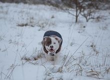 American Stafforshire terrier Winter Run royalty free stock images