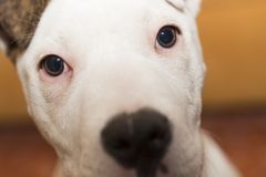 American Staffordshire terrier. Pets. Dogs royalty free stock photography