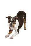 American staffordshire terrier bent Stock Photos