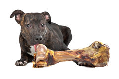 American Staffordshire terrier with a big bone Stock Photos