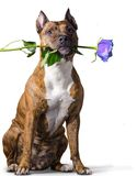 American Staffordshire Terrier with a blue rose Royalty Free Stock Photography