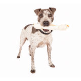 American Staffordshire Terrier With Bone Royalty Free Stock Photo