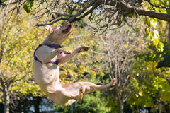 American Staffordshire terrier breed jumping high. Royalty Free Stock Photo