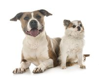 American staffordshire terrier and chihuahua Stock Image