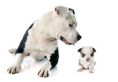 American staffordshire terrier and chihuahua Royalty Free Stock Image