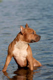 The  American Staffordshire Terrier cooling down Stock Image