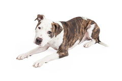 American Staffordshire Terrier Cross Dog Laying Stock Images