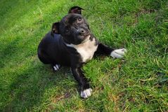 American staffordshire terrier. Cute pure bread puppy on the green ground. stock photos