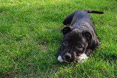 American staffordshire terrier. Cute pure bread puppy on the green ground. royalty free stock image