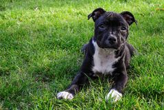 American staffordshire terrier. Cute pure bread puppy on the green ground. Adorable best animal friend. Pitbull want to play royalty free stock photography