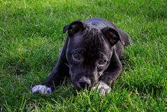 American staffordshire terrier. Cute pure bread puppy on the green ground. stock image