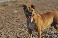 American Staffordshire terrier dog Stock Photography