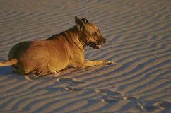 American Staffordshire terrier dog on the beach at sunset.  royalty free stock photos