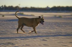 American Staffordshire terrier dog on the beach at sunset.  stock image