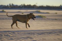 American Staffordshire terrier dog on the beach at sunset.  royalty free stock photography