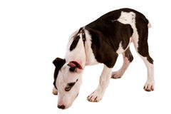 American staffordshire terrier dog Royalty Free Stock Photo