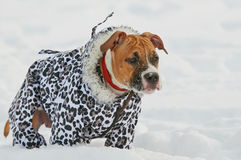 American Staffordshire Terrier dog dressed in winter warm clothe Royalty Free Stock Photography